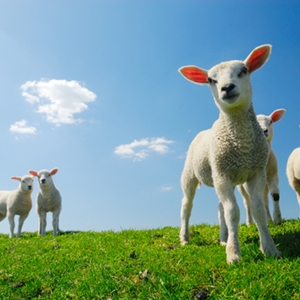 """Creators of """"Dolly"""" were denied patent protection for the sheep's clones."""